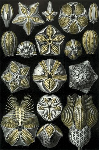 Illustration of Blastoidea by Ernst Haeckel--Stretched Canvas Print