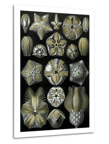 Illustration of Blastoidea by Ernst Haeckel--Metal Print