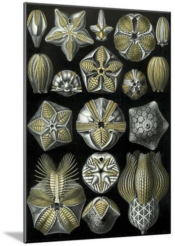 Illustration of Blastoidea by Ernst Haeckel--Mounted Giclee Print