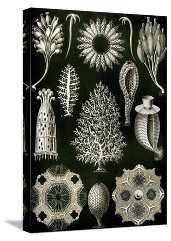 Illustration of Calcispongiae by Ernst Haeckel--Stretched Canvas Print
