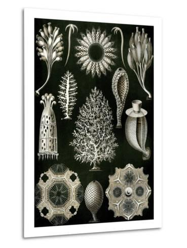Illustration of Calcispongiae by Ernst Haeckel--Metal Print