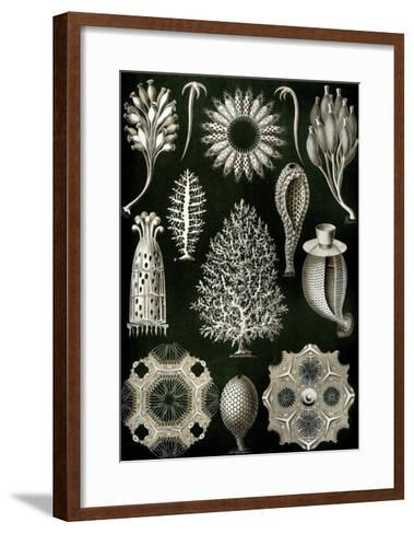 Illustration of Calcispongiae by Ernst Haeckel--Framed Art Print