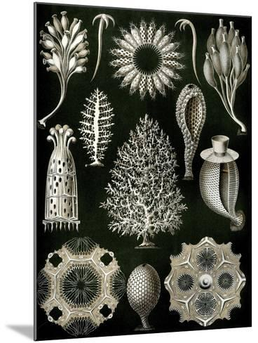 Illustration of Calcispongiae by Ernst Haeckel--Mounted Giclee Print