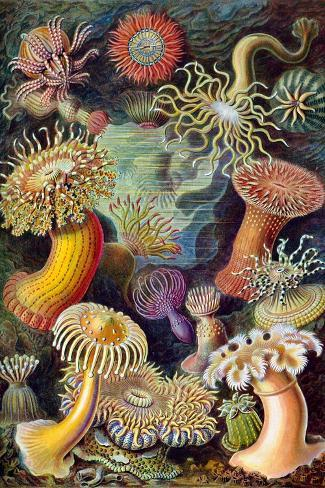 Illustration of Actiniae by Ernst Haeckel--Stretched Canvas Print
