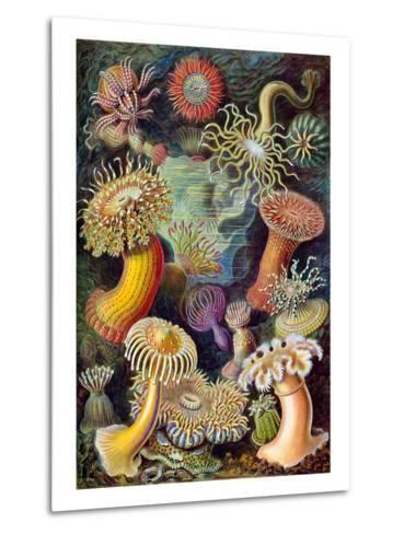 Illustration of Actiniae by Ernst Haeckel--Metal Print