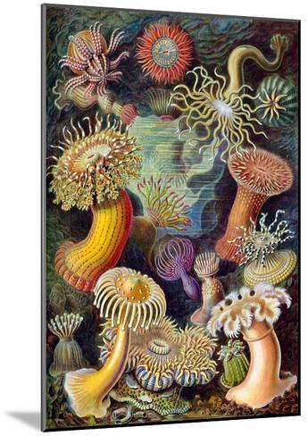 Illustration of Actiniae by Ernst Haeckel--Mounted Giclee Print