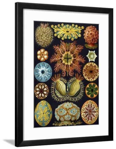 Illustration of Ascidiacea by Ernst Haeckel--Framed Art Print