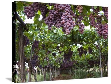 Red table grapes on vine in Basilicata-Mark Bolton-Stretched Canvas Print