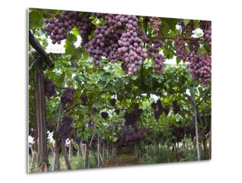 Red table grapes on vine in Basilicata-Mark Bolton-Metal Print