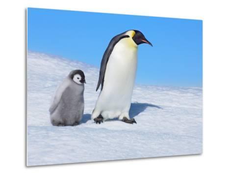Emperor penguins-Frank Krahmer-Metal Print