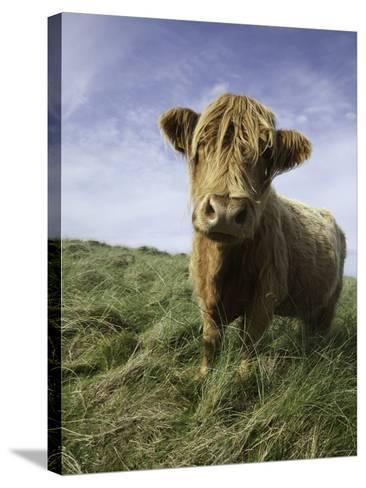 Shaggy haired highland cow-Macduff Everton-Stretched Canvas Print