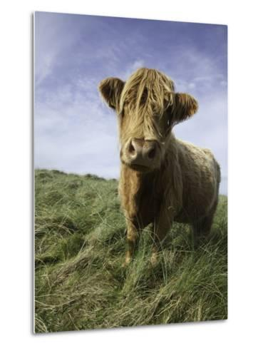 Shaggy haired highland cow-Macduff Everton-Metal Print