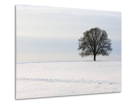 Old oak tree on a field in winter-Frank Lukasseck-Metal Print
