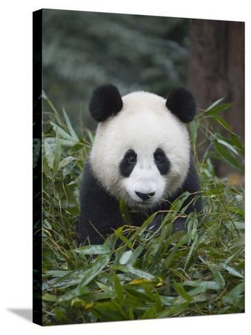Giant panda cub in forest-Keren Su-Stretched Canvas Print