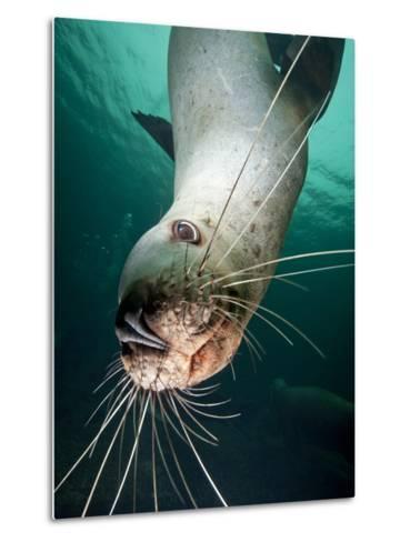 Curious Steller Sea Lion Swimming Underwater-Paul Souders-Metal Print