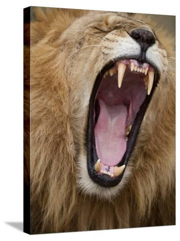 Male lion yawning in Masai Mara National Reserve-Paul Souders-Stretched Canvas Print