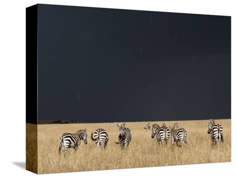 Burchell's Zebras on Savanna Below Stormy Sky-Paul Souders-Stretched Canvas Print