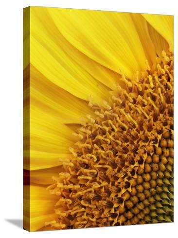 Sunflower-Frank Krahmer-Stretched Canvas Print