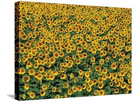 Sunflower field in Hokuto, Yamanashi Prefecture, Japan--Stretched Canvas Print
