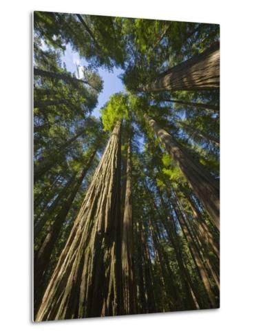 Redwood forest in Humboldt Redwood State Park-John Eastcott & Yva Momatiuk-Metal Print