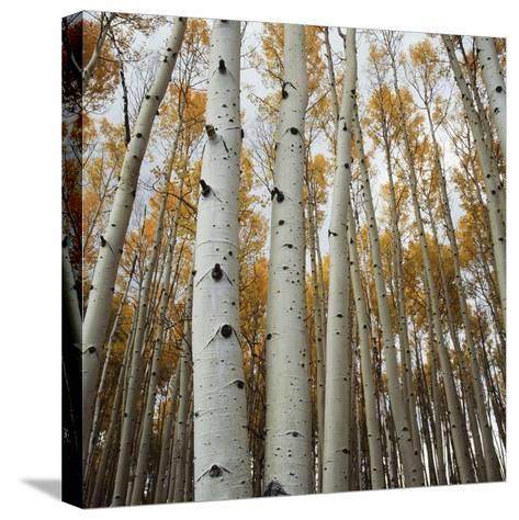Grove of Coloful Aspens in Fall-Micha Pawlitzki-Stretched Canvas Print