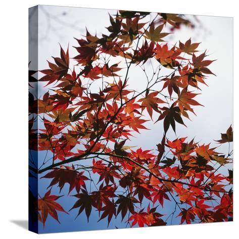 Colorful leaves-Micha Pawlitzki-Stretched Canvas Print