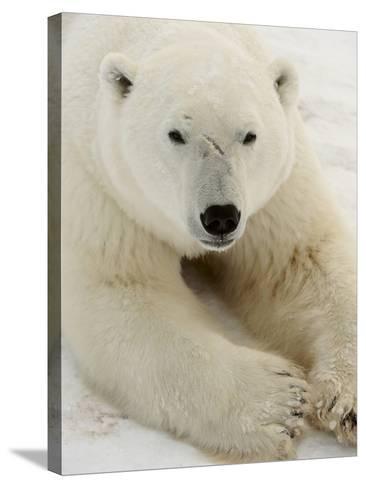 Polar bear (Ursus maritimus)-Don Johnston-Stretched Canvas Print