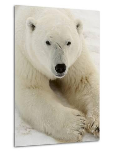 Polar bear (Ursus maritimus)-Don Johnston-Metal Print