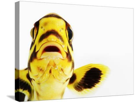Oriental sweetlips-Martin Harvey-Stretched Canvas Print