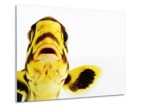 Oriental sweetlips-Martin Harvey-Metal Print