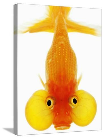 Bubble Eye Goldfish-Martin Harvey-Stretched Canvas Print
