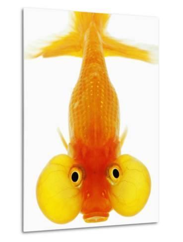 Bubble Eye Goldfish-Martin Harvey-Metal Print