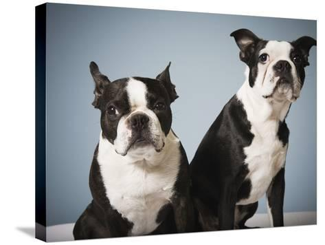 Portrait of two dogs sitting--Stretched Canvas Print