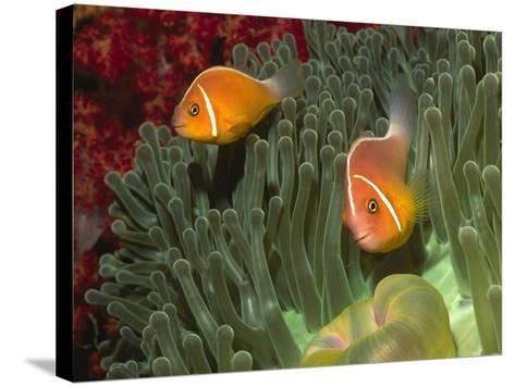 Pink Anemonefish in Magnificant Sea Anemone-Hal Beral-Stretched Canvas Print