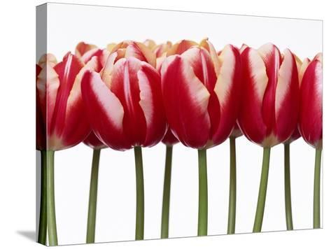 Red Tulips, Close Up, White Background--Stretched Canvas Print
