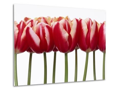 Red Tulips, Close Up, White Background--Metal Print