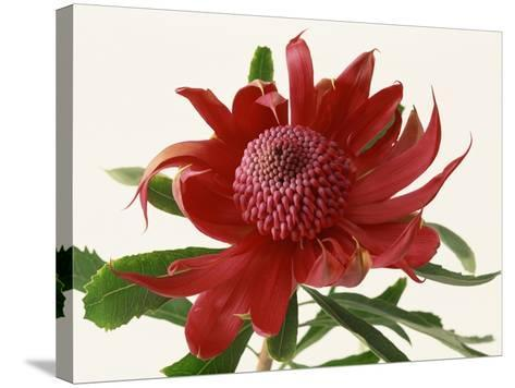 Close Up Image of Red Tropical Flower--Stretched Canvas Print