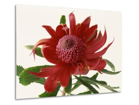 Close Up Image of Red Tropical Flower--Metal Print