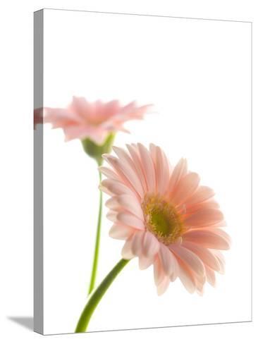 Gerbera daisy-Kiyoshi Miyagawa-Stretched Canvas Print