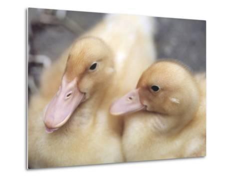 Ducklings-Aso Fujita-Metal Print