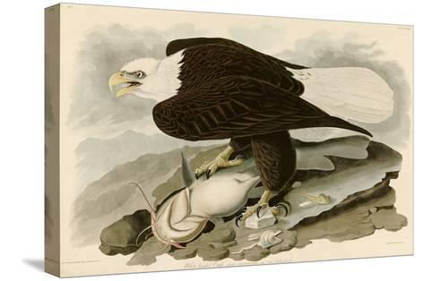 White Headed Eagle-John James Audubon-Stretched Canvas Print