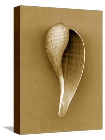 Graceful Fig Shell-John Kuss-Stretched Canvas Print