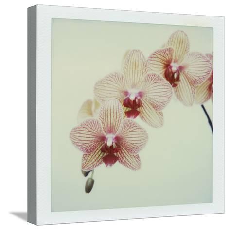 Balkan Kaleidoscope Orchid-John Kuss-Stretched Canvas Print
