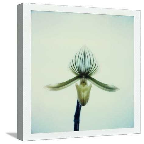Lady Slipper Orchid-John Kuss-Stretched Canvas Print