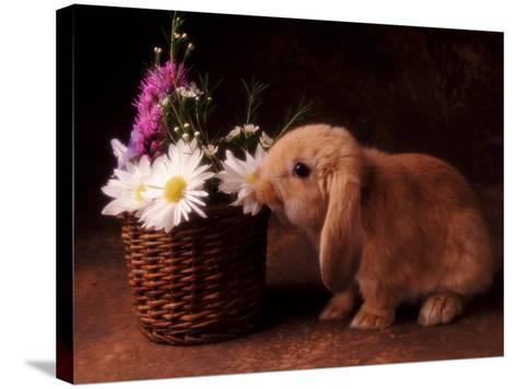 Bunny Smelling Basket of Daisies-Don Mason-Stretched Canvas Print