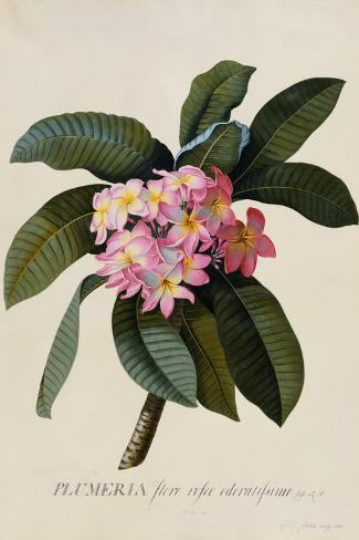 Botanical Print of Frangipani-Johann Wilhelm Weinmann-Stretched Canvas Print