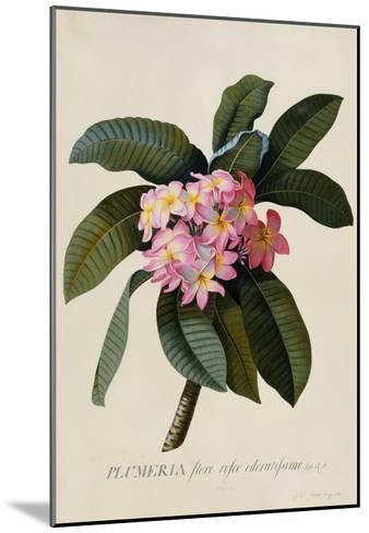 Botanical Print of Frangipani-Johann Wilhelm Weinmann-Mounted Giclee Print