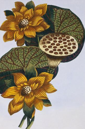 18th Century French Print of Waterlily-Stapleton Collection-Stretched Canvas Print