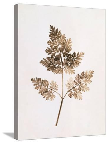 Fronds of Leaves-William Henry Fox Talbot-Stretched Canvas Print
