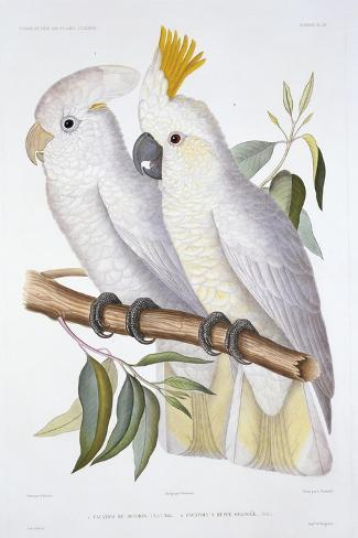 Print of Two Cockatoos by A. Dumenil-Stapleton Collection-Stretched Canvas Print